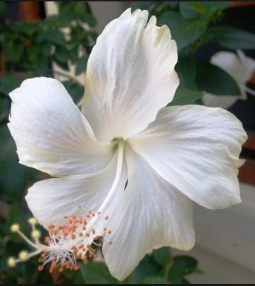 Tanaman Hias Kembang Sepatu Putih Bunga Sepatu Putih Lazada Indonesia