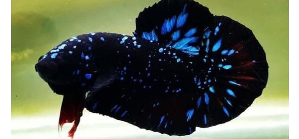 Satu Pair Satu Pasang Cupang Avatar Gordon Blue Seris Hiasan Aquarium Avatar Newhobi 2020 Cod Lazada Indonesia