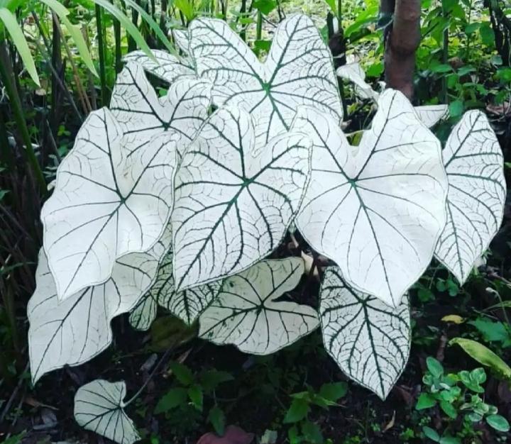 Tanaman Hias Hidup Caladium White Keladi Putih Tanaman Keladi Putih Lazada Indonesia